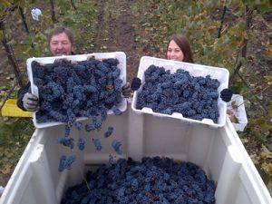 Community harvest at Ten Spoon Vineyard