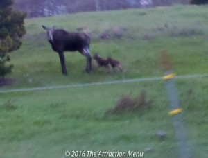 Mama moose with twin calves near Glacier National Park