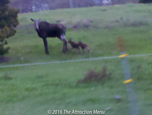 Moose Encounters of the Twin Kind