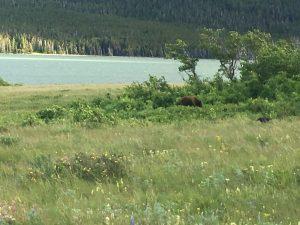 Bears near Many Glacier
